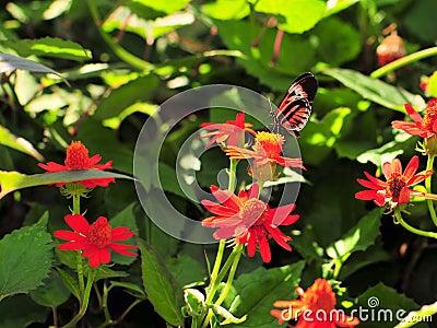 Heliconius Numata Butterfly (Underside)