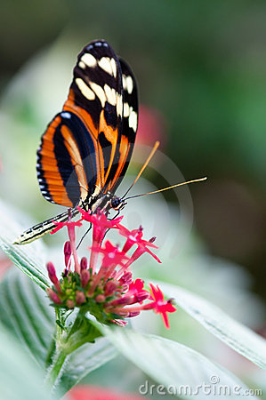 Free Heliconius Xanthocles Longwing Butterfly Stock Photography - 18559712