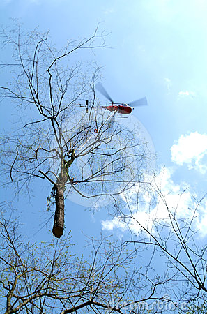 Helicopter transporting a tree