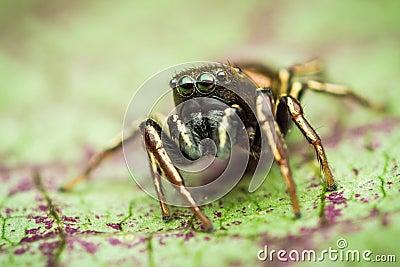 Heliophanus auratus jumping spider