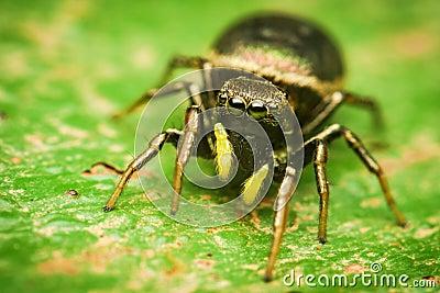 Heliophanus female jumping spider