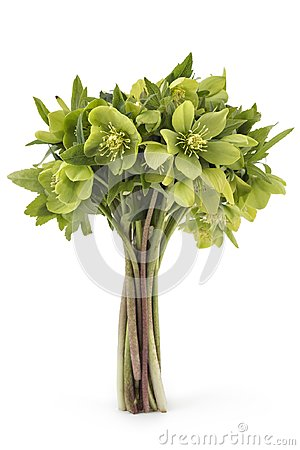 Free Hellebore Frowers Stock Image - 119440571