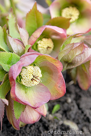 Helleborus one of the first spring flowers