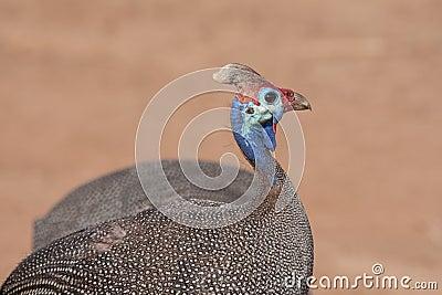 Helmeted Guineafowl