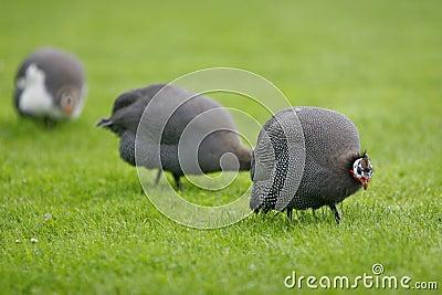 Helmeted Guineafowl / Numida Meleagris