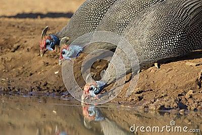 Helmeted Guineafowl (Numida meleagris), drinking, Botswana