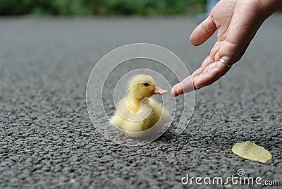 Help duck baby