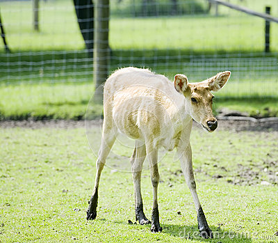 Helpless looking fawn