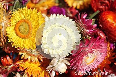 Helychrysum - immortelle flowers