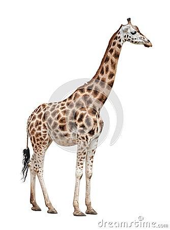 Hembra de la jirafa en blanco
