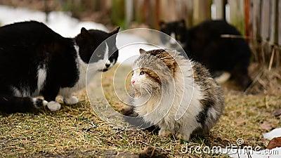 Hemlösa hungriga katter som sitter på gräset i byn anhydrous stock video