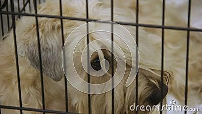 Hemlösa Wheaten Terrier på hundskyddet med ögon som är fulla av sorgsenhet och sorg arkivfilmer