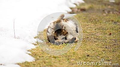 Hemlöst hungrigt kattsammanträde på gräset i byn anhydrous stock video