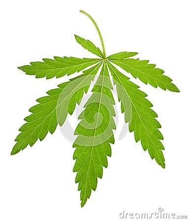 Hemp leaf isolated
