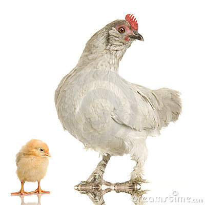 Free Hen And Her Chick Stock Images - 2307584