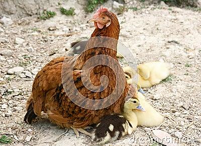 Hen and baby ducks