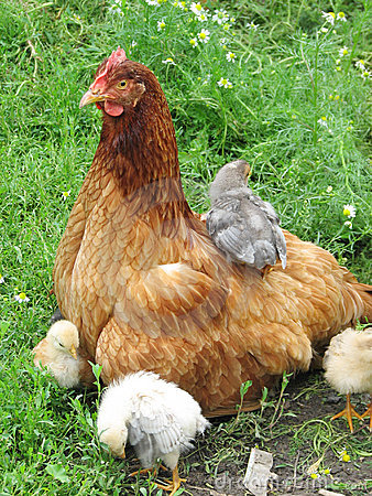 Hen with chickens on the green grass