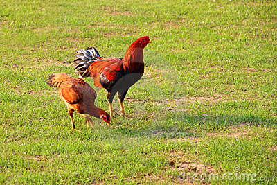 Hen and cock