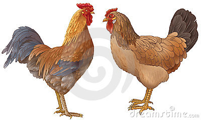 Hen and the cock
