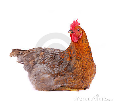 Hen isolated on white.