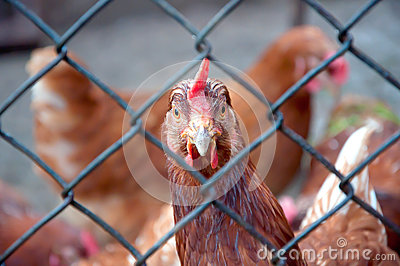 A hen staring at the camera