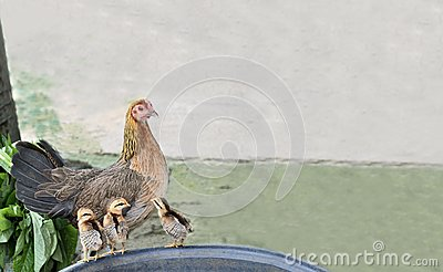 The hen and three chicks.