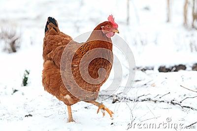 Hen in winter