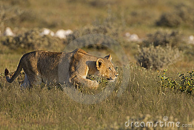Henne barn för förfölja för lionessrov