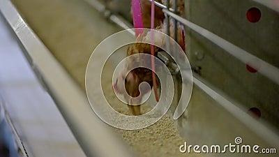 Hennenkusszufuhr stock video