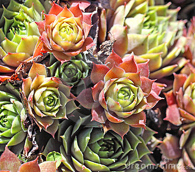 Hens and chickens perennial plant