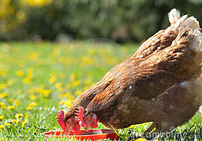 Hens pecks food in meadow