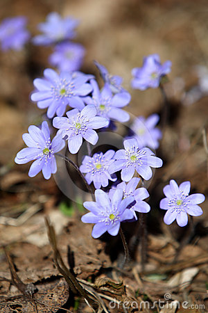 Hepatica Nobilis - first Spring flower