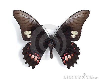 Heraclides (Papilio) anchisiades (underside)