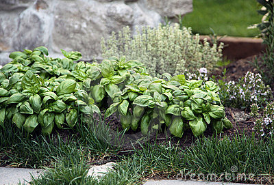 Herb basil and thyme plants on the garden bed