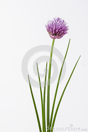 Free Herb Chive Including Flower On Plain Background Stock Image - 31245311