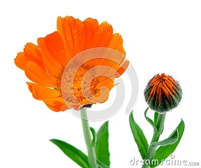 Herb marigold calendula folk medicine white