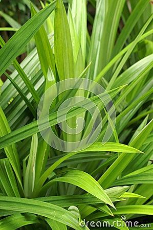 herb Pandan Pandanus odorus Ridl