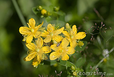 Royalty Free Stock Image: Herb St. John's wort close up