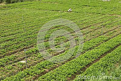 Herbata ogród