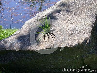 Herbe en pierre