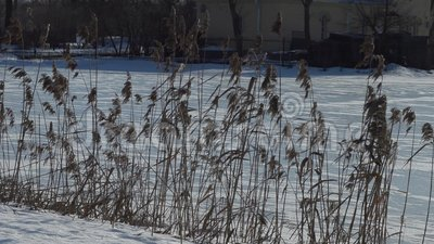 Herbe grande sèche près d'un lac congelé banque de vidéos