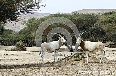 Herbivorous antelope oryx (Oryx leucoryx)