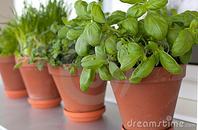Herbs growing on window-sill