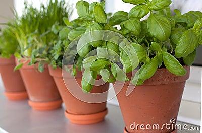 Herbs growing on window-sill