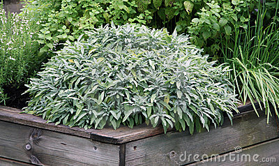 Herbs plant on the raised garden bed