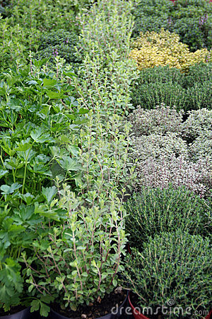 Herbs in pot for sale