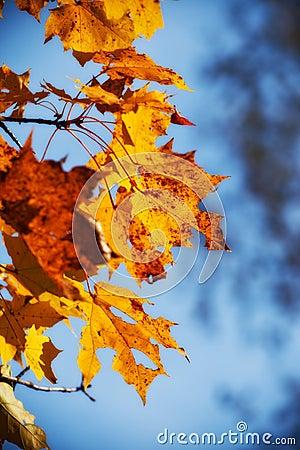 Herbst-Ahornblätter
