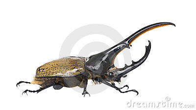 Hercules beetle against white background