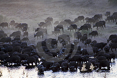HERD OF AFRICAN BUFFALO (CAPE BUFFALO)