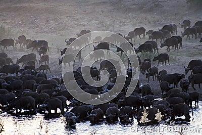 HERD OF AFRICAN BUFFALO (CAPE BUFFALO)